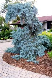 70 best weeping evergreen trees images on pinterest evergreen
