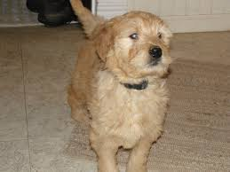 zehr goldens updates on our goldendoodle and golden retriever
