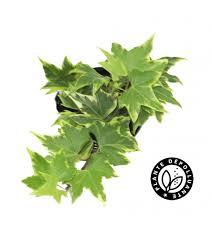 plante d駱olluante chambre depolluante baby plante lierre panache bobylaplante