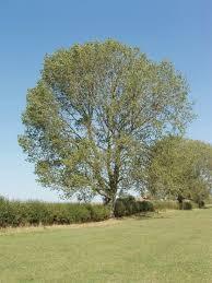black poplar trees for sale choose your black poplar plant now