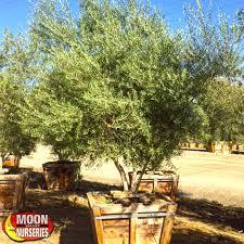 olive trees moon valley nurseries