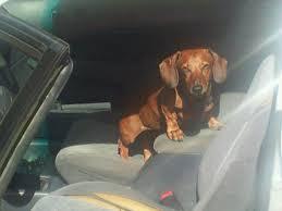 found missing weiner dog with tattoo u2013 redheaded blackbelt