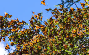 even more monarchs are heading to mexico this year than last