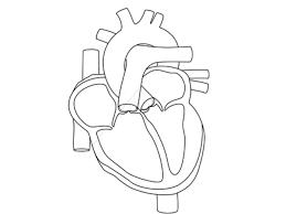 gallery anatomy heart blank human anatomy diagram