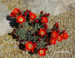 cactus flowers color the desert landscape ramblings from a