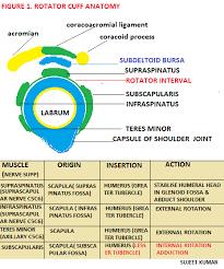 Anatomy Of Rotator Cuff Rotator Cuff Anatomy Pathology Orthopedics U2013 Medicotimes U2013 Pgmee