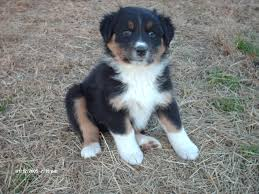 images of australian shepherd colors