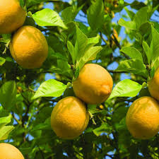 bloomsz 1 5 year old larger lemon tree in nursery pot 06315 the