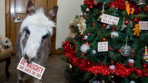 Couple First Christmas Ornament Orphaned 20 Inch Tall Donkey Spends First Christmas Indoors Youtube