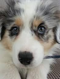 rockin b miniature australian shepherd australian shepherd i need this puppyyyy cutie pies