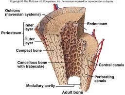 Anatomy And Physiology Definitions Medullary Cavity Definition Google Search Musculoskeletal