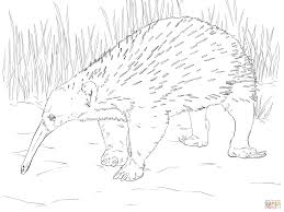 western long beaked echidna coloring page free printable