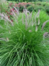 add dimension and with ornamental grasses