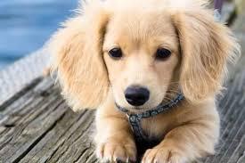 comment empecher chien de monter sur le canapé quand faut il commencer l éducation du chiot
