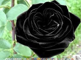 real black roses roses black roses