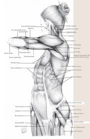 Human Body Anatomy Pics 44 Best Muscles Drawing Tutorial Images On Pinterest Human