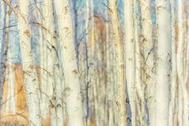 white paper canoe birch trees for sale wholesale retail