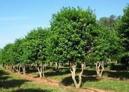 burford tree tree form sustainable