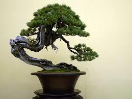 bonsai japan japanese white pine