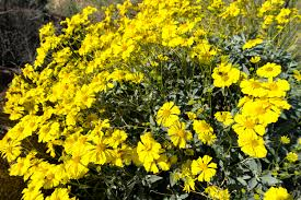 Flowers Anza Borrego The Anza Borrego Desert Wildflower Superbloom Of 2017