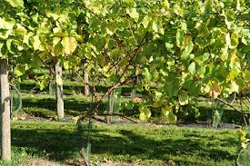 How To Grow Grapes In Your Backyard by Grapes Outdoor Cultivation Rhs Gardening