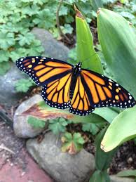 gardening for butterflies in tim u0027s ohio garden finegardening