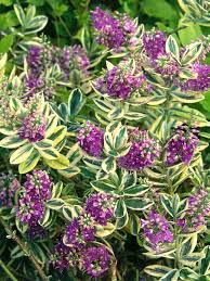 Shrubs For Patio Pots Landscapers U0027 Picks The 10 Best Shrubs For Pots Shrub Hgtv And