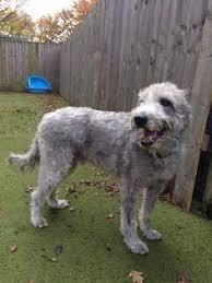 bedlington terrier stud longhaired whippets bedlington whippet for stud 100 posted 1