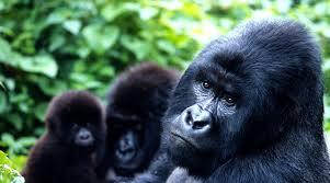 gorilla balloon 6 day uganda tour gorilla trekking drives boat balloon