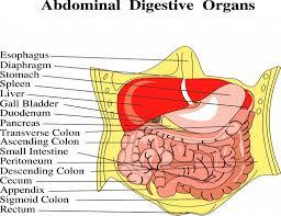 Human Anatomy Torso Diagram Abdominal Cavity Organs Diagram Anatomy Abdominal Cavity Organ