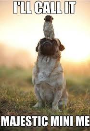 Benson Dog Meme - 576 best pug love images on pinterest adorable animals doggies