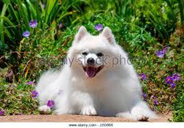 american eskimo dog forum american eskimo dog on garden stock photos u0026 american eskimo dog