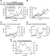 rab11 supports amphetamine stimulated norepinephrine transporter