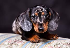 bluetick coonhound in florida dachshund puppies for sale akc puppyfinder