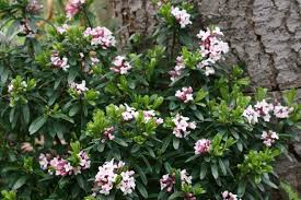 Fragrant Patio Plants - pacific horticulture society plants that make scents