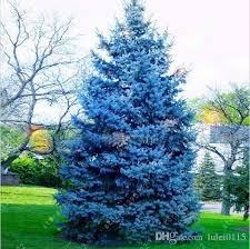 discount blue spruce trees 2017 blue spruce trees on sale at