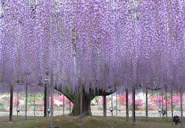 ashikaga flower tunnel in city a passageway of purple wisteria