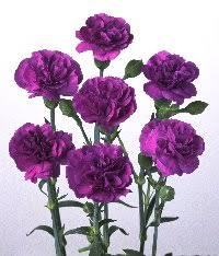 purple carnations black and carnations to come news in science abc science