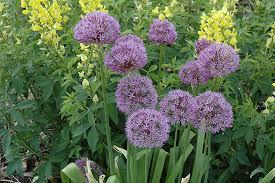 purple sensation ornamental allium purple sensation in