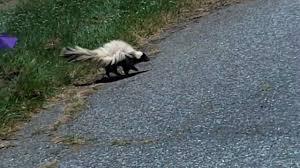 rabid skunk youtube