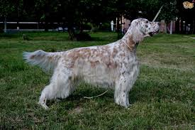 irish setter male dog names english setter or irish setter what s the difference in the two