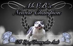 american pitbull terrier breeders st louis midwest superstar bullies
