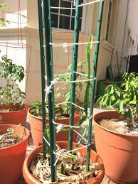 dragon fruit trellis help gardening forums