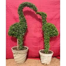 Topiaries Plants - topiaries plants u0026 flower topiaries plants online shop in india