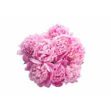 Mother S Day Flower Mother U0027s Day Peonies Flower Muse