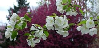 how to grow crabapple trees today s homeowner