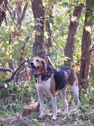 afghan hound of america foxhound wikipedia