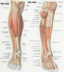 hip muscle diagram gallery human anatomy reference