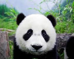 Sad Panda Meme - create meme sad panda pictures meme arsenal com