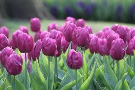 Purple Flag 20 Kg Tulpen Blumenzwiebeln